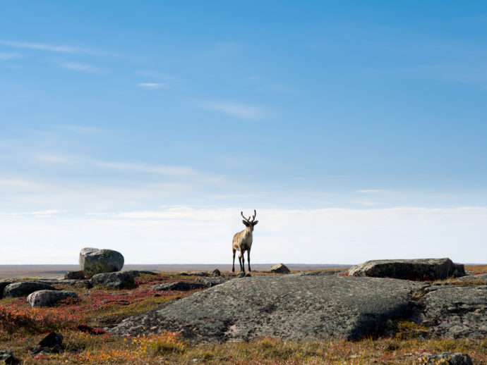 Saving What\'s Left of the Caribou